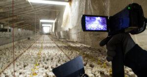 Carne di pollo: la nostra nuova indagine al Tg1
