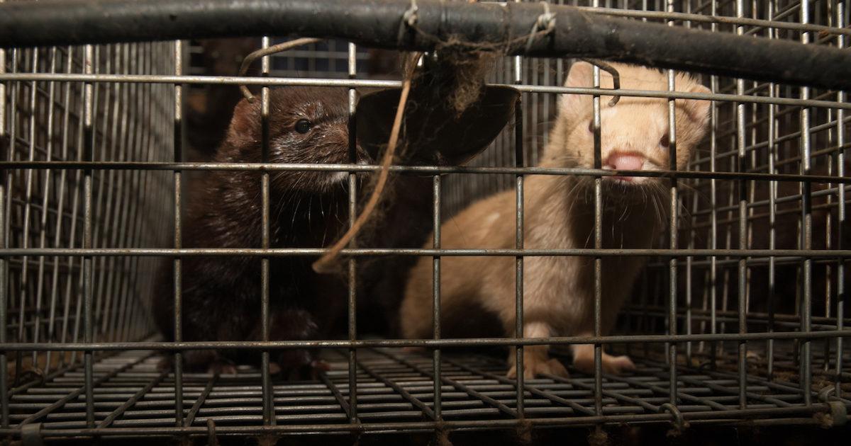 visoni in allevamento in gabbia Italia foto di Essere Animali