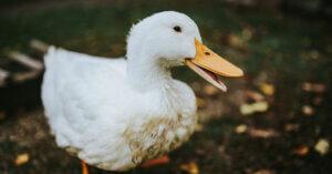 Foie Gras: anche Lidl non lo vende!