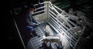 I nostri attivisti hanno denunciato irregolarità in un allevamento intensivo di maiali