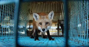 La Norvegia vieta gli allevamenti di animali da pelliccia!