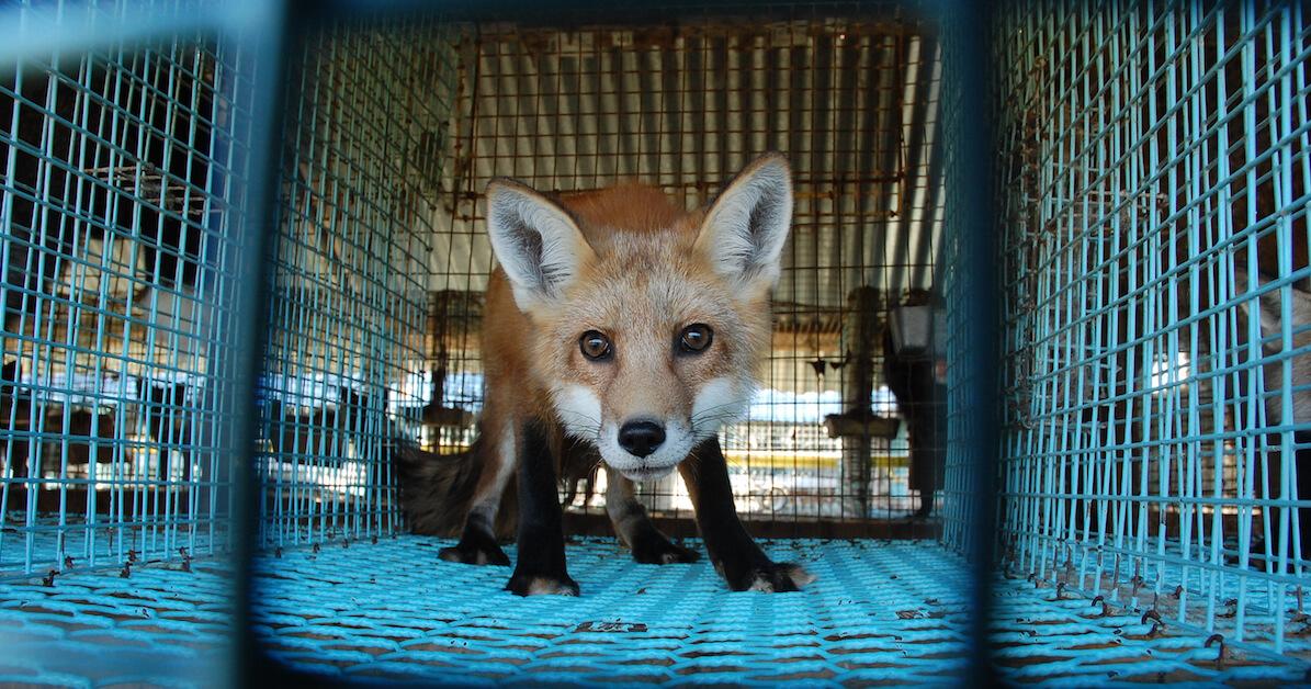 divieto per allevamenti di animali da pelliccia in Norvegia
