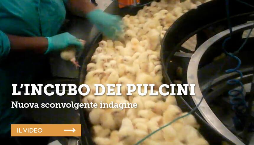 incubo-pulcini-slidesito_essereanimali