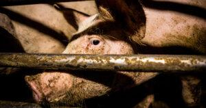 Sai come vivono gli 8 milioni di maiali allevati in Italia?