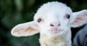 Il destino degli agnelli. Quello che abbiamo fatto noi e quello che potete fare voi