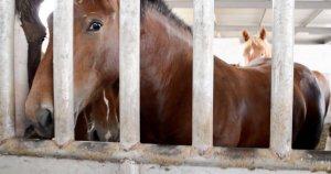 Crollo dei cavalli macellati: meno 47% negli ultimi 5 anni