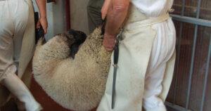 Lavorare negli allevamenti o nei macelli deteriora l'animo umano
