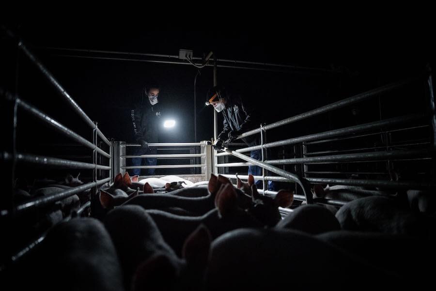 attivisti essere animali effettuano indagine in allevamento intensivo di maiali