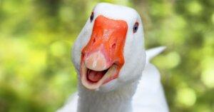 VITTORIA: stop al foie gras nei supermercati Bennet