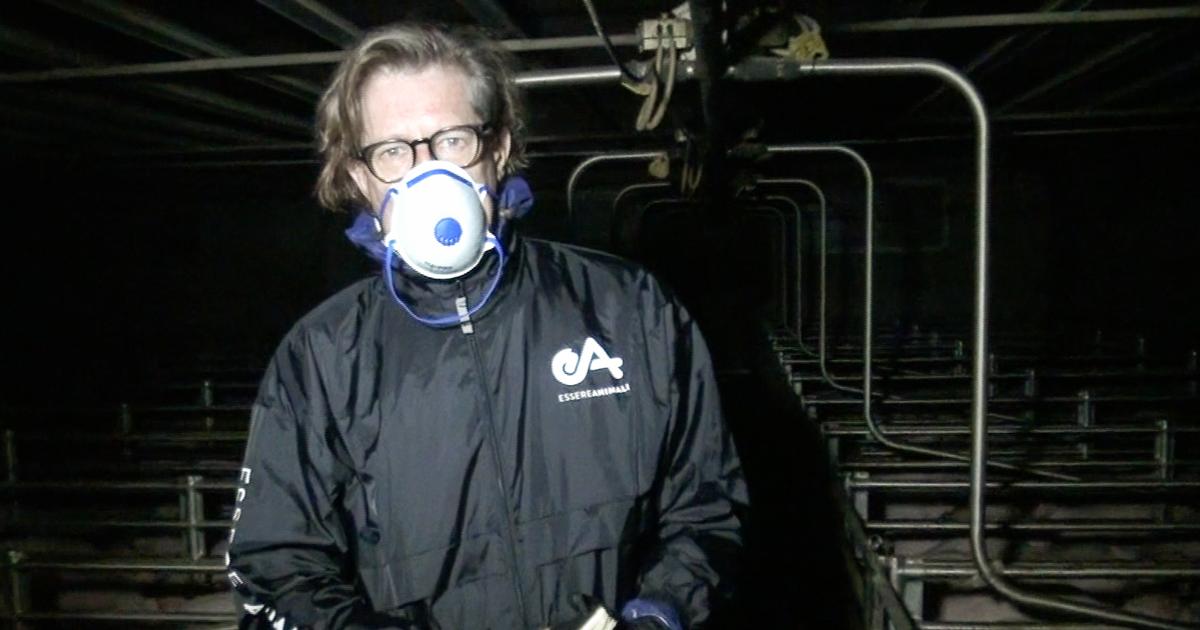 Maltrattamenti di maiali in allevamento fornitore Prosciutto di Parma
