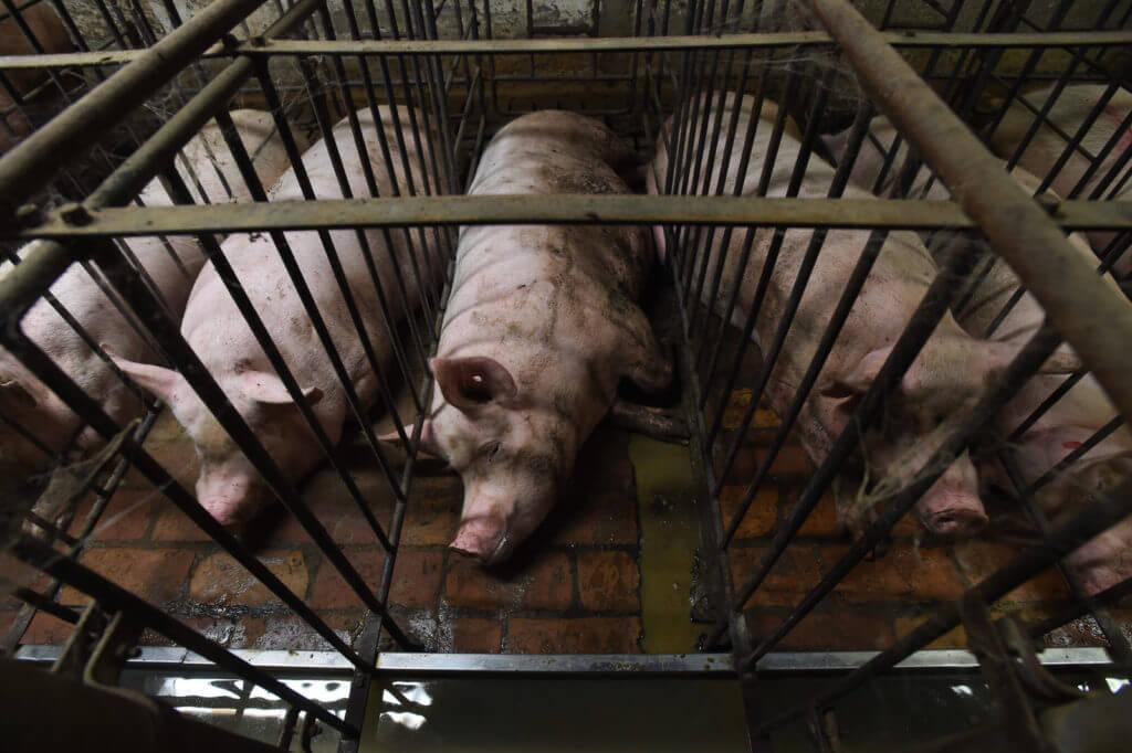 maiale in gabbia