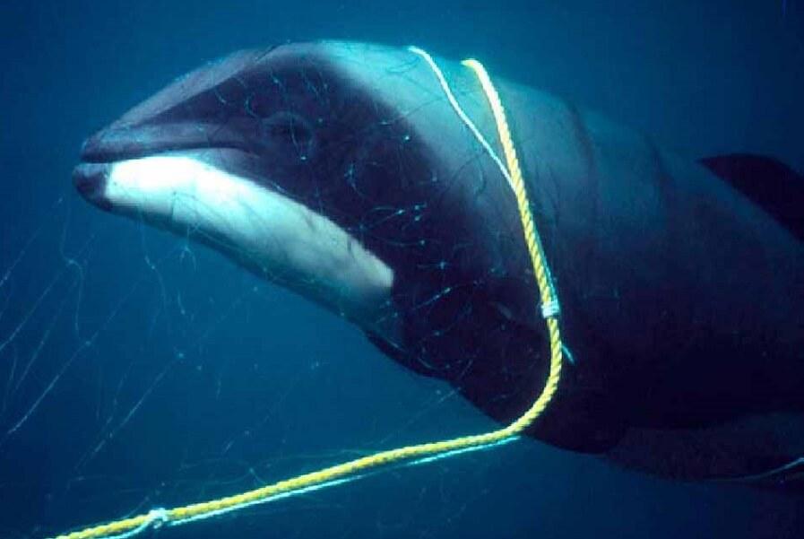 Delfino nelle reti