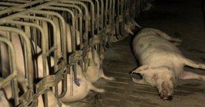 Negli allevamenti 1 animale su 5 muore prima di arrivare al macello