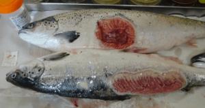 Orribili foto scattate negli allevamenti di salmone