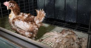 [Nuovo video] Uova: la sofferenza di galline e pulcini