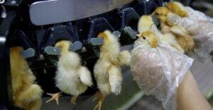 Dentro l'incubatoio più grande del mondo: 400 mila nuovi pulcini al giorno