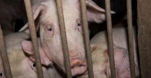 Maltrattamenti in allevamenti di maiali: sigilli e multe nel forlivese