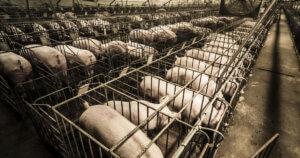 Animali al metro quadro: tutte le misure degli allevamenti intensivi