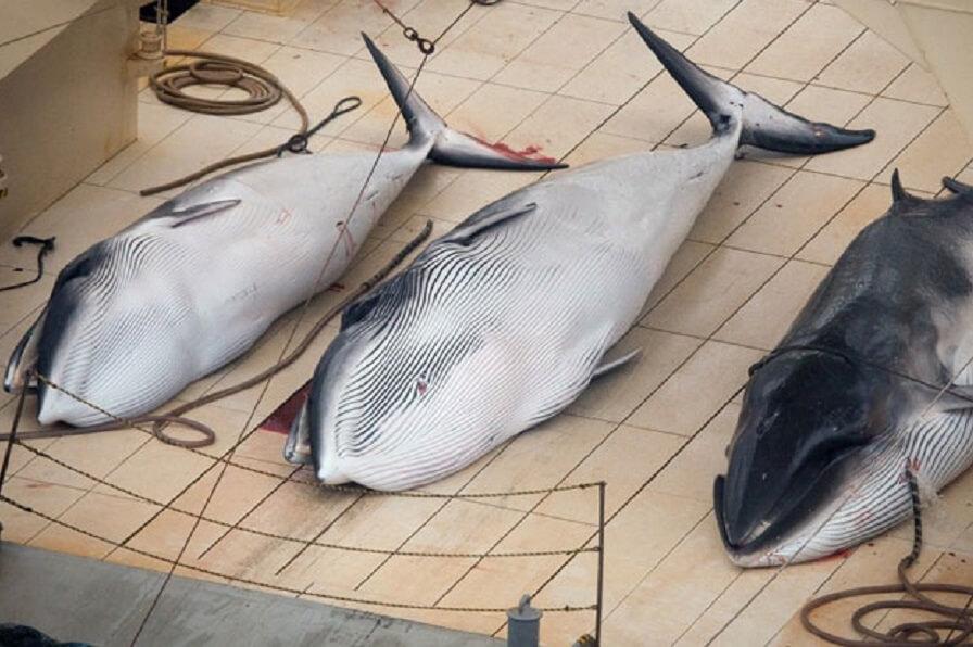 Balena catturate.