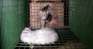 Orrore negli allevamenti di visoni da pelliccia: animali mangiati vivi dai compagni