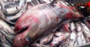 Il bycatch non si ferma: squali a rischio nel Mediterraneo