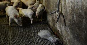 Negli allevamenti intensivi gli animali sono alla mercè di virus e batteri