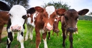 ELEZIONI USA la California ha detto stop allevamenti con animali in gabbia