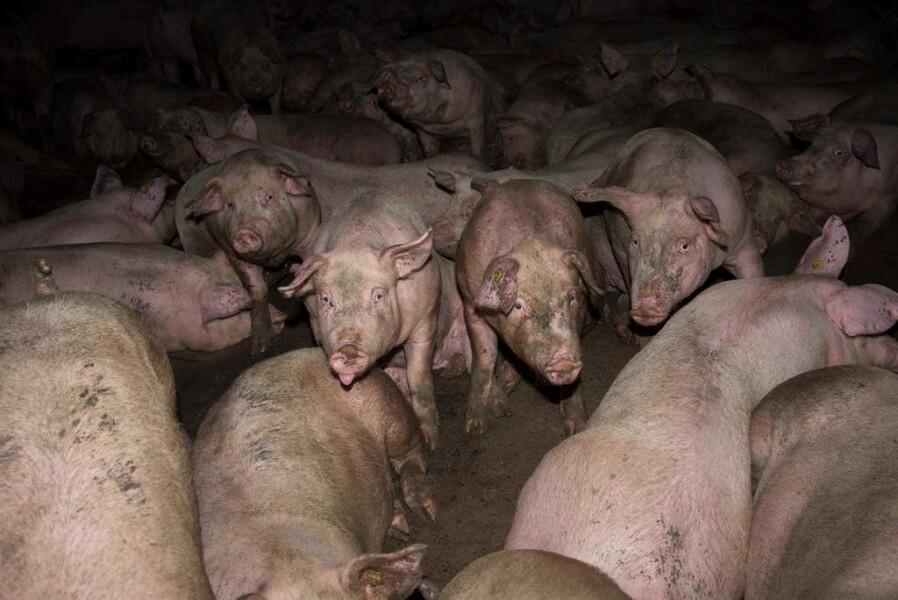 Piggy e i maiali nel recinto