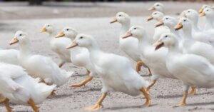 I supermercati Tigros dicono NO al foie gras