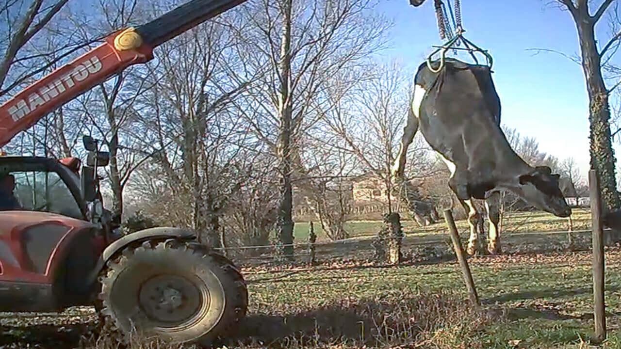 Mucche sfinite a terra