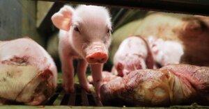 Cuccioli negli allevamenti intensivi: preferirebbero non essere mai nati