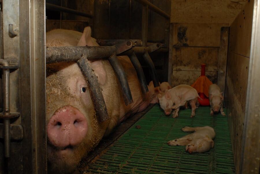 Una scrofa e i maialini in un allevamento