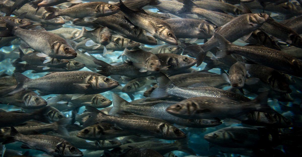allevamenti di pesci
