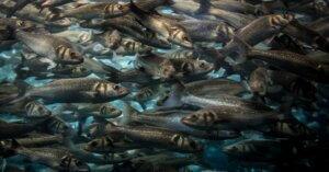 Negli allevamenti di pesci c'è la stessa sofferenza che si trova in quelli di mucche, maiali e polli