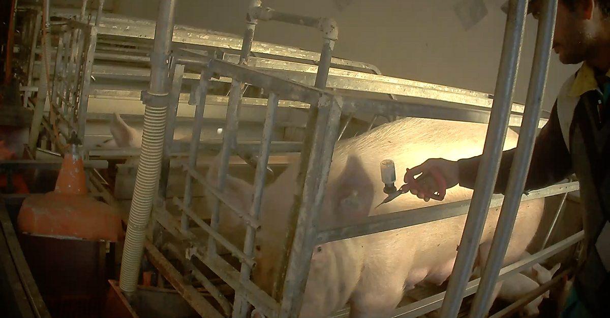 somministrazione di un antibiotico a un maiale in un allevamento italiano