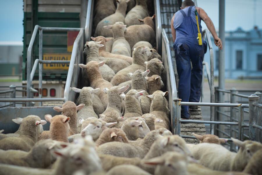 pecore-cane-piquè