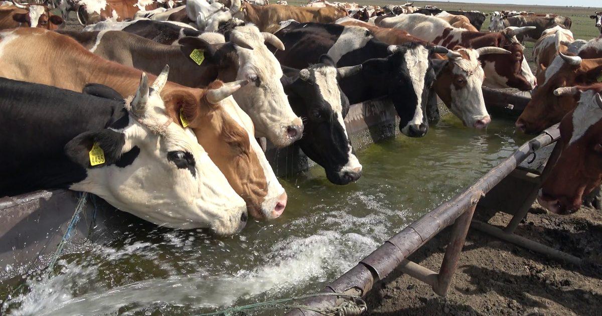 acqua negli allevamenti intensivi