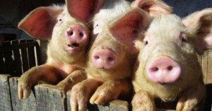 I maiali sono socievoli e più intelligenti dei cani. Perché li mangiamo?