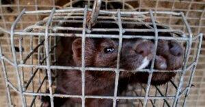 La Commissione Europea vuole legittimare gli allevamenti di volpi e visoni