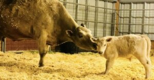 Una mucca partorisce poco prima di essere uccisa e il macellaio decide di salvarla