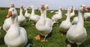 Nuova vittoria per la campagna #ViaDagliScaffali: basta foie gras anche da Carrefour