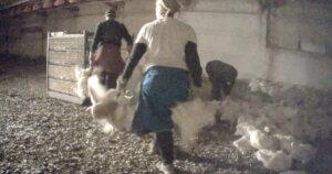 Il violento carico dei polli filmato da un investigatore sotto copertura di EA