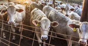 In Italia si importa carne che porta al disboscamento dell'Amazzonia