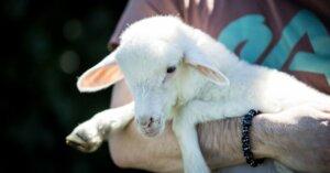 Macellazioni agnelli a Pasqua: numeri in calo, ma c'è ancora molto da fare
