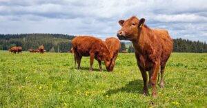 Gli allevamenti biologici sono sostenibili?