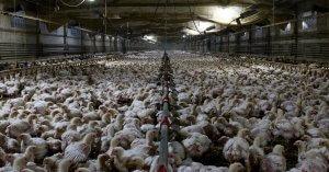 Allevamenti fornace: il caldo estivo uccide migliaia di animali