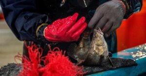 A Taiwan pesci legati in modo crudele e lasciati in agonia