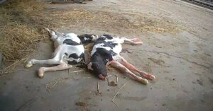 Che fine fanno i vitelli delle mucche da latte?