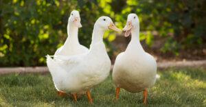 New York vieta la vendita di foie gras