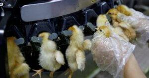 Sai che tutti gli animali negli allevamenti vengono mutilati senza anestesia?